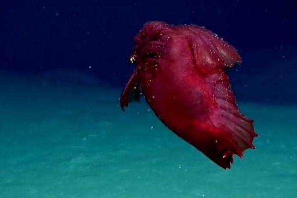 """Un monstre marin aussi appelé """"poulet sans tête"""