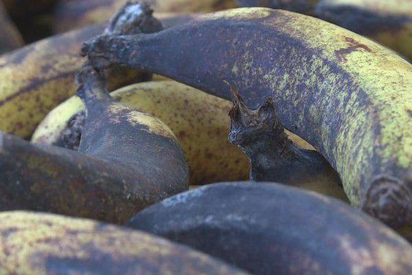 Pénurie bananes malades 220718
