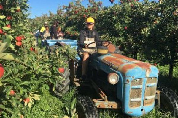 Récolte des pommes dans le Queensland.