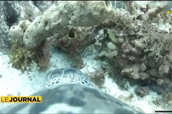 Rencontre avec les tortues connectées de La Martinique