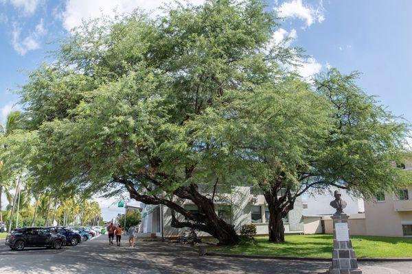 """Au Port, le """"pié zépinar"""" pourrait devenir l'arbre de l'année."""