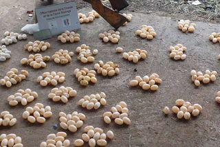 braconnage d'oeufs de tortues et d'iauanes