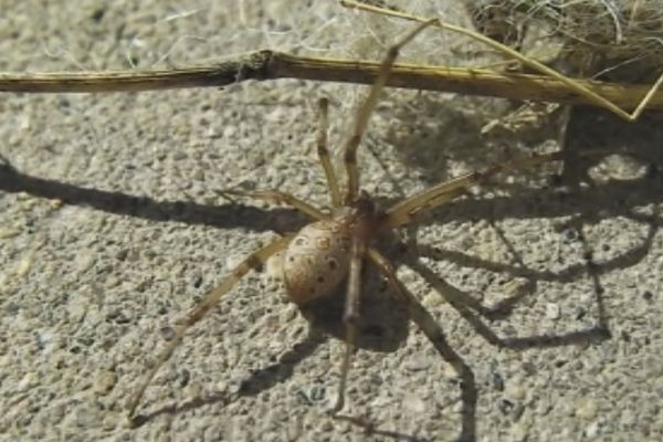 Araignée Latrodectus geometricus