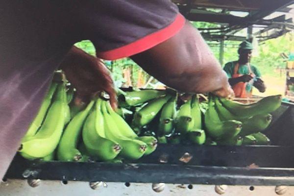 plantation bananes