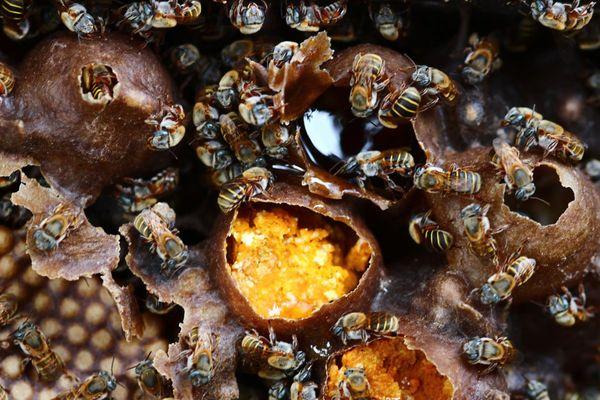 L'abeille mélipone