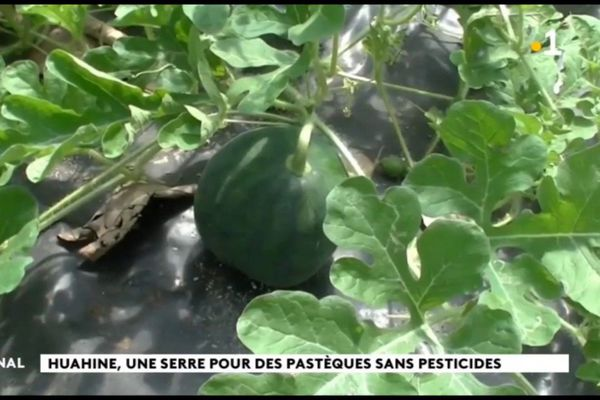 Des pastèques sous serre à Huahine
