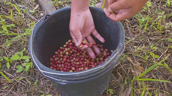 Des jeunes de MFR font une première récolte de café prometteuse