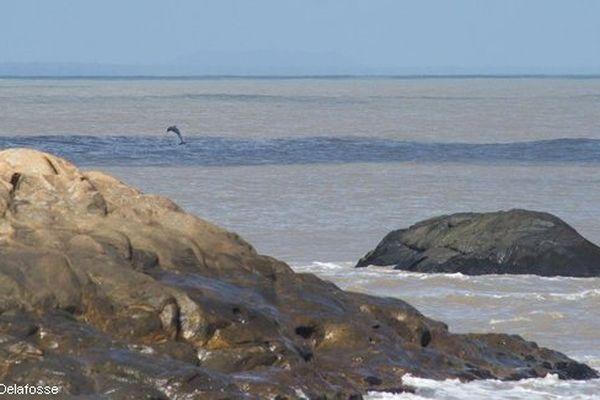 Un dauphin de Guyane