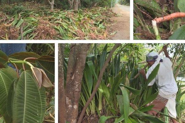 Plantes invasives Bourail