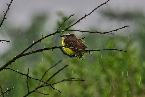 Kikiwi de Guyane