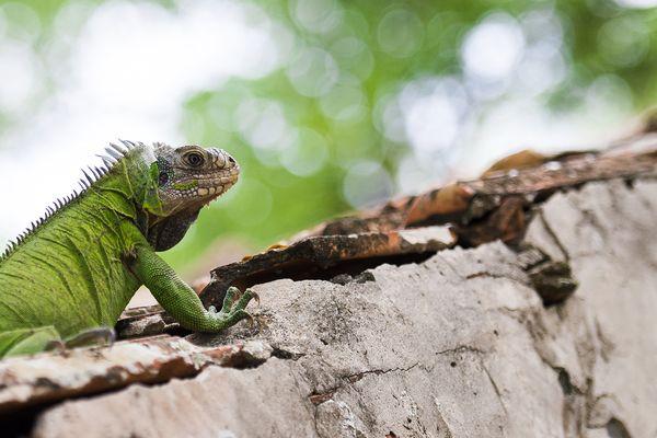 Iguane délicat Martinique