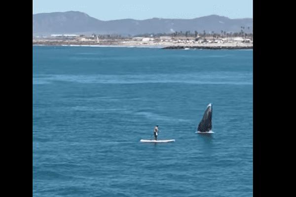 Californie : une collision entre un paddle et une baleine évitée de justesse