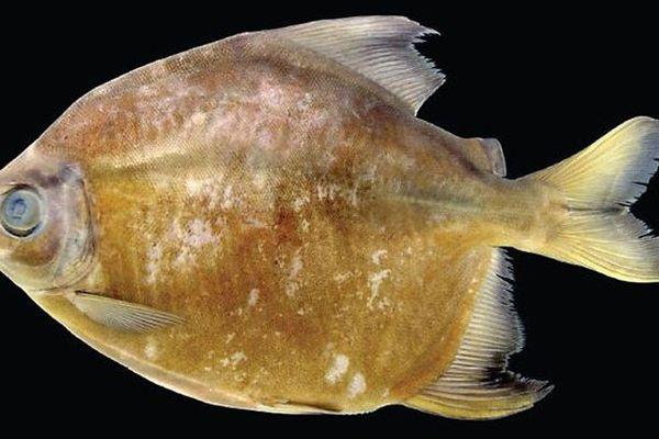 "Un piranha végétarien ou ""tometes camunani"""