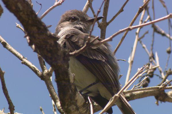 Oiseau de Martinique