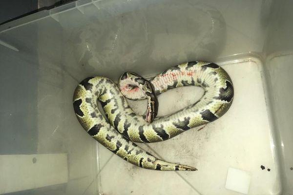 Serpent de Grippière 3