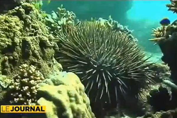 Calédonie : la lutte contre la taramea est ouverte