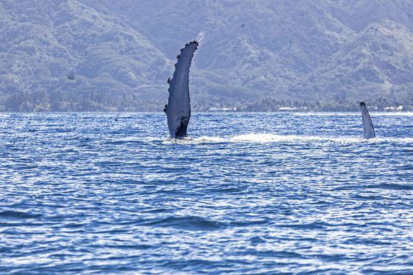 La baleine et son baleineau saluent les surfeurs de Vairao. 07 08 14