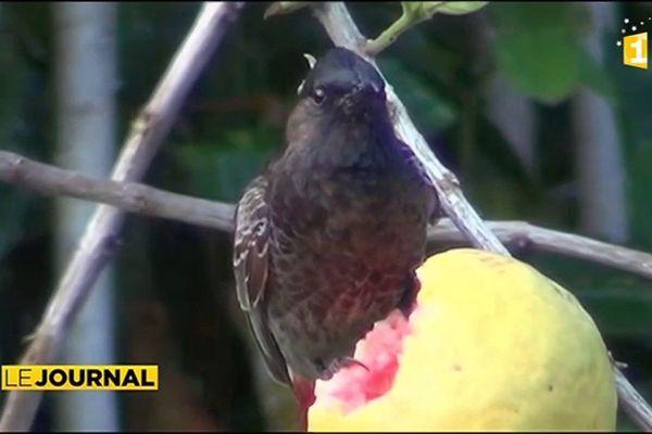 Les oiseaux destructeurs de Raivavae