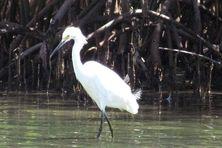 La mangrove sertde nurserie aux poissons et aux oiseaux