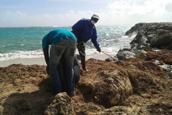 Ramassons les sargasses à Capesterre de Marie- Galante