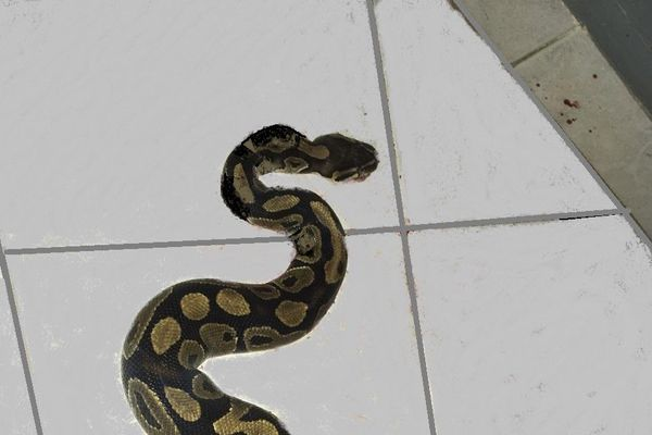 Serpent grippière 2