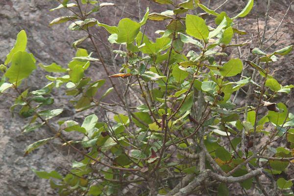 plante endémique