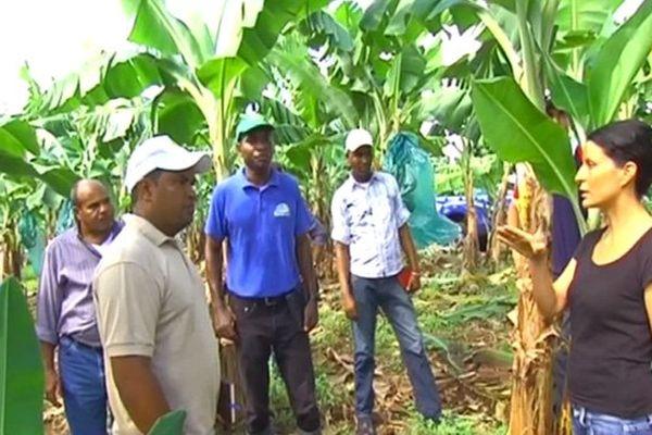 Planteurs de banane