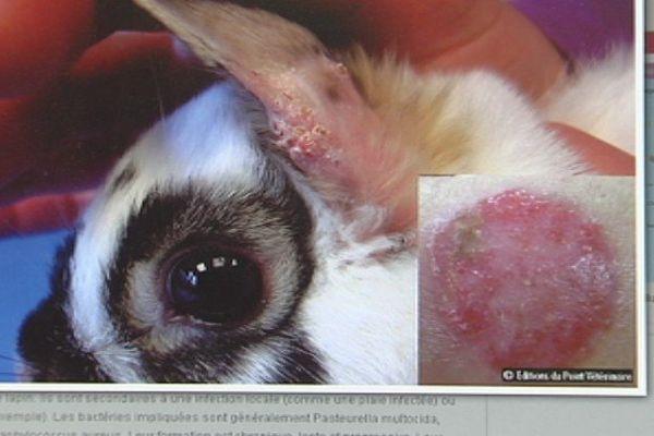 Des lapins l'ont transmise aux enfants : attention à la teigne !
