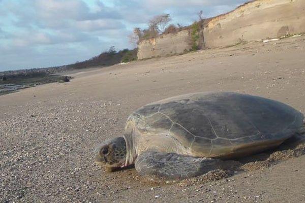 Les tortues marines menacées