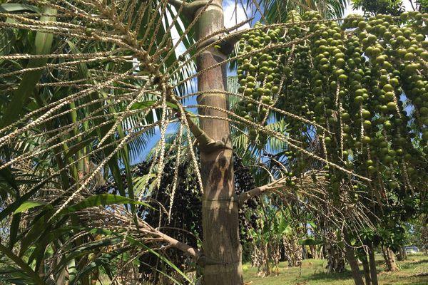 Plantation de wassaï au lotissement Banane