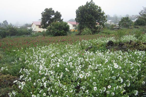 champs de fleurs au tampon