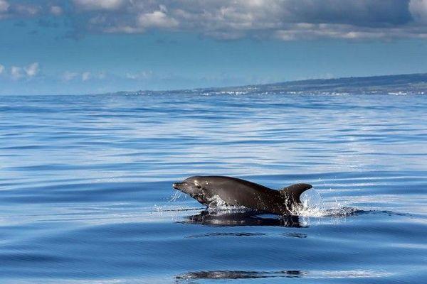 dauphin au large de la Grande Chaloupe 020720