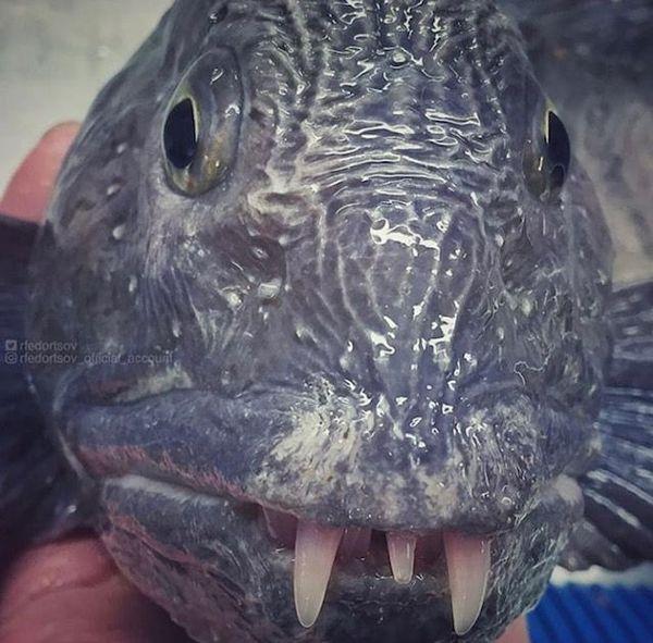 poissons des abysses