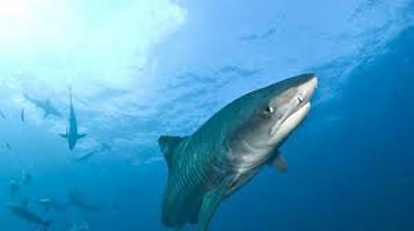 baignade interdite requin