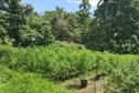 5 821 plants de cannabis découverts à Maupiti, Mahina, Paea et Taravao