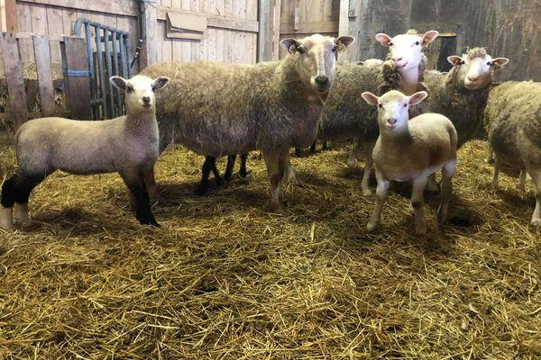 agneaux ferme de l'ouest miquelon