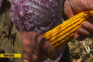 Récolte de maïs en Nouvelle-Calédonie