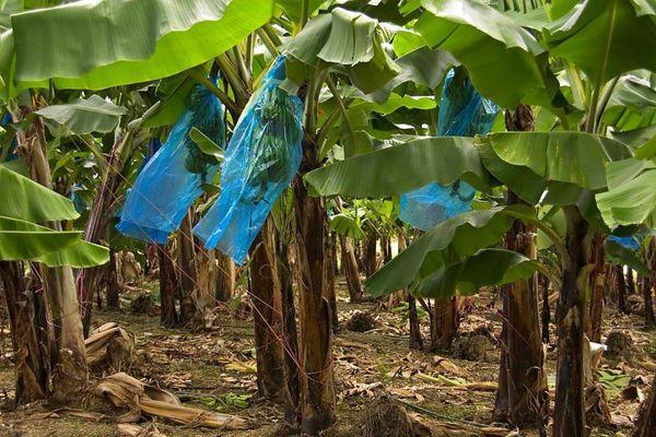 Bananiers aux Antilles