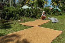 Séchage du riz à Tamatave