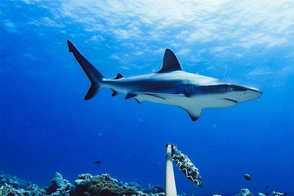 Requins 3