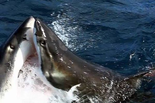 Requin contre requin