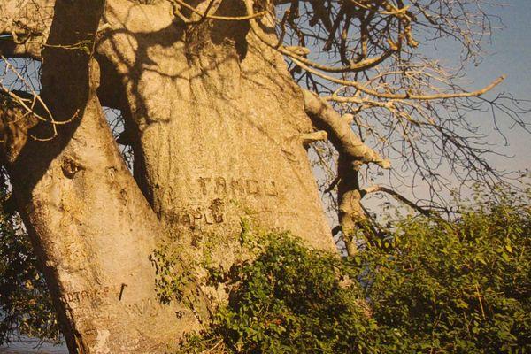 Le baobab malgache de Mayotte