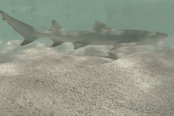 Requin citron en Guadeloupe