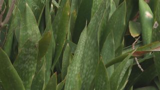 Sanseveria plante invasive
