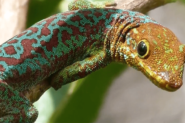Le gecko vert de Bourbon
