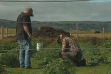 Didier Girardin et Yannick James enlèvent les mauvaises herbes de leur champs de pommes de terre.
