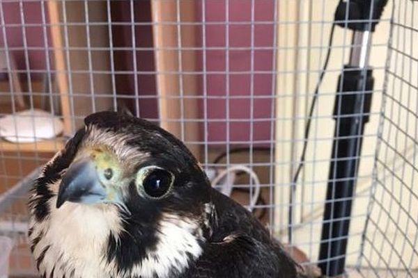 Cayenne : 1000 euros d'amende pour détention et commerce d'un faucon pèlerin