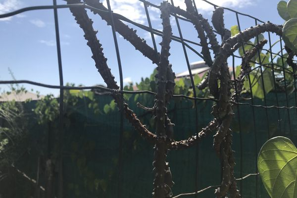 Une liane amère