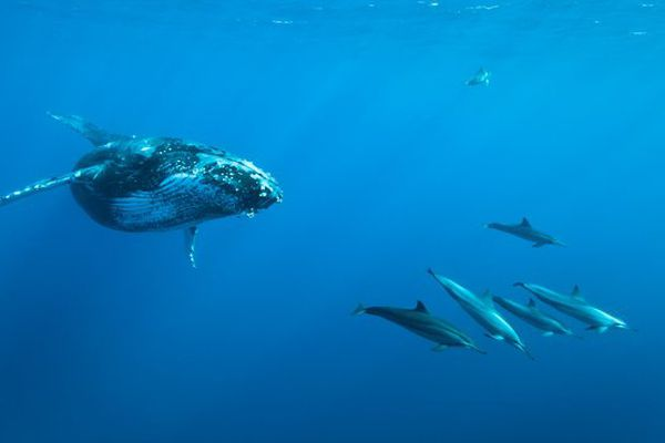 Baleines à Saint-Leu