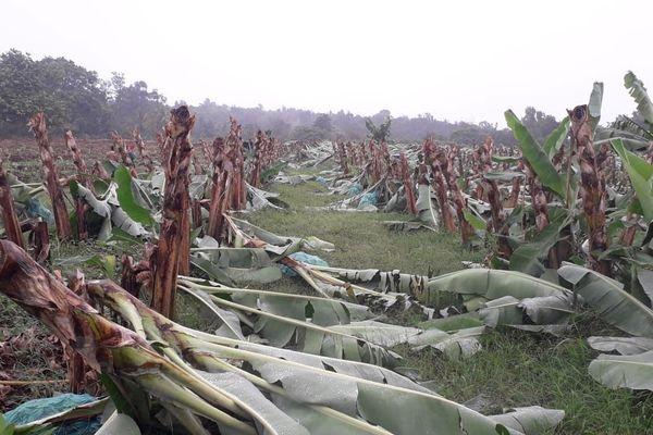 Bananeraies sacagées
